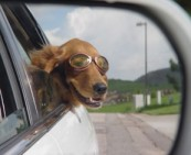dog in car with goggles